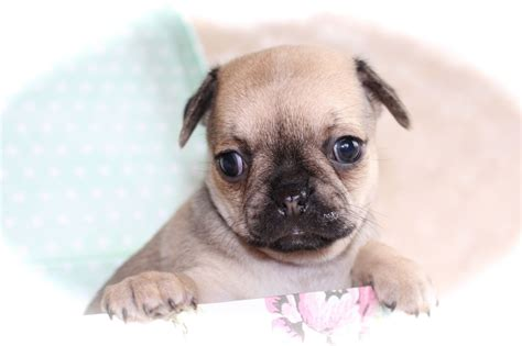 pug x chihuahua puppies pin pug x chihuahua puppies on