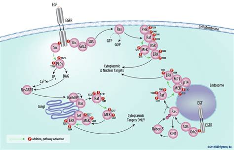The ERK Signal Transduction Pathway: R&D Systems