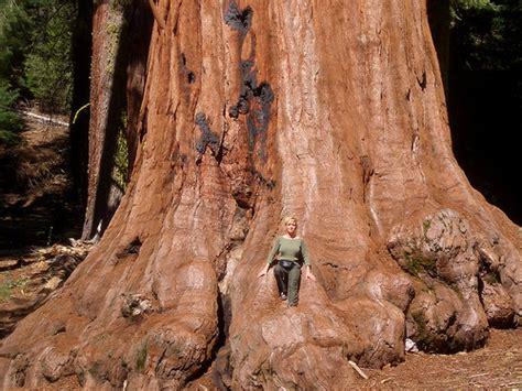 Pohon Huruf Iu sequoia antara jenis pokok paling besar di dunia