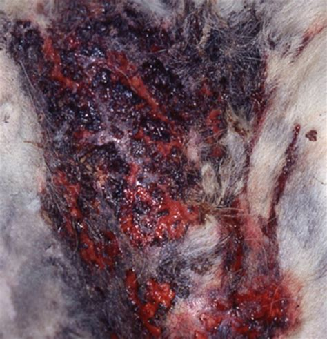 pyoderma in dogs pin canine pyoderma gangrenosum pictures on