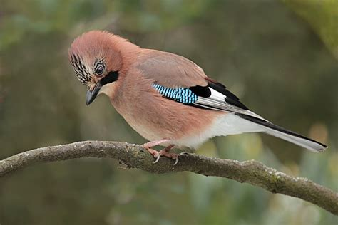 bird feeder types free photo jay bird garrulus