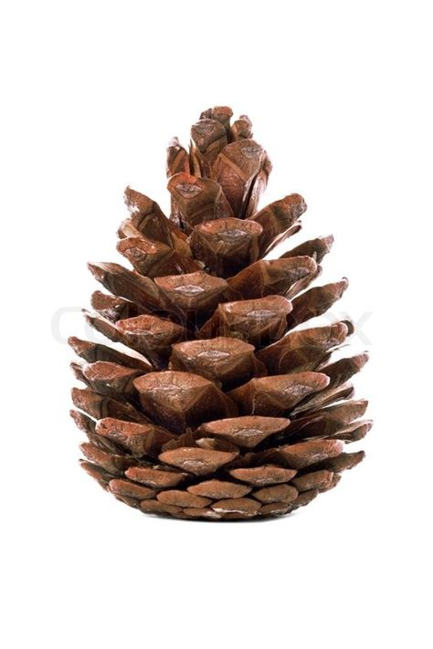 white pine cone pine cone on the white background stock photo colourbox