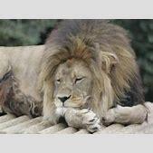 Barbary Lion | ...