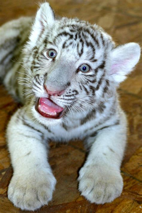 Baby White Tiger pic of the day baby white tiger cub