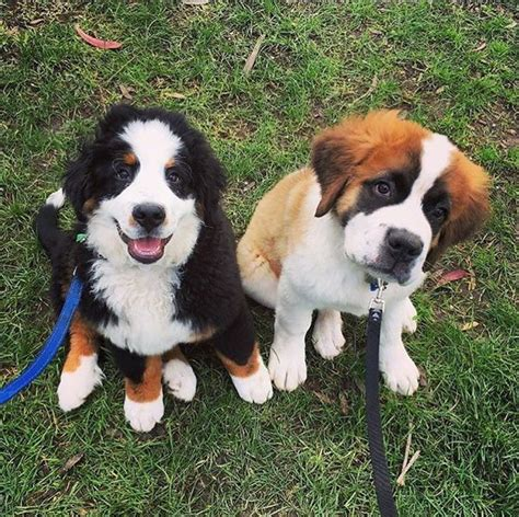 st bernese mountain puppy 25 best ideas about bernard puppies on st bernard puppy st bernard
