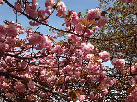 cherry blossom festival dc washington dc cherry blossom festival kristen renae