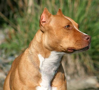 pit picture the american pit bull terrier misunderstood or