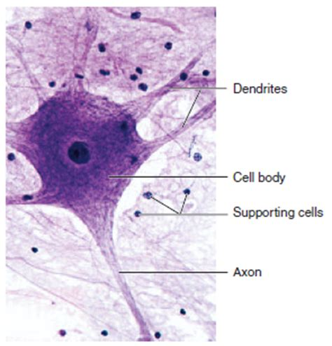 nervous tissue labeled diagram human physiology