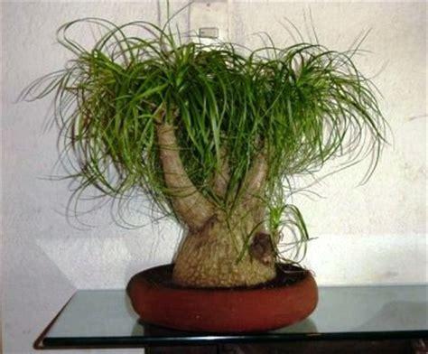 australischer flaschenbaum beaucarnea flaschenbaum elefantenfu 223 zimmerblumen