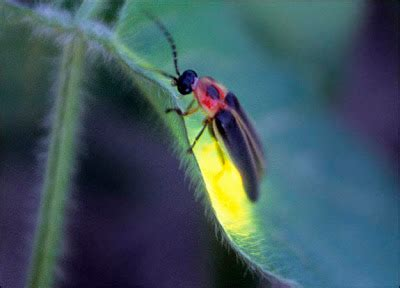 What Makes A Lightning Bug Light Up by Best Of Bicolandia Travel Firefly In Donsol Sorsogon