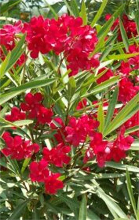 mediterranean flowering shrubs information about mediterranean gardening plant notes