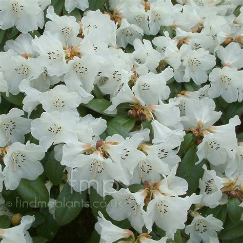 rhododendron snowy lady information pictures cultivation tips
