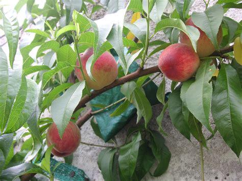 Digital Fruit Tree Maze Perlengkapan Bayi 1 florida survival gardening the power of microclimates in