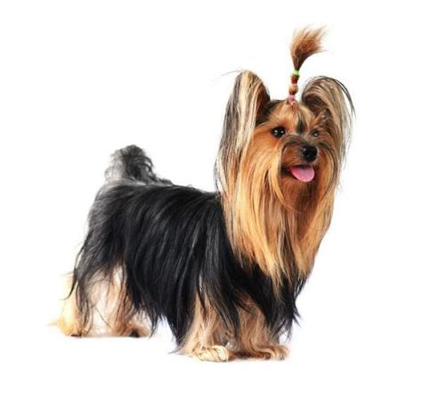yorkie puppy tips 10 haircuts for a terrier