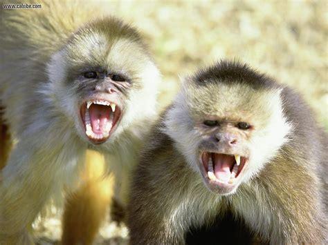 animal desktop wallpapers capuchin monkeys wallpapers