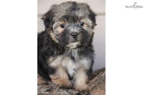 morkie puppies for sale oklahoma java morkie yorktese puppy for sale near tulsa oklahoma 4e860e4f 6b61