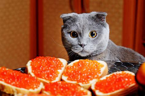 alimenti gatti alimenti tossici gatto cosa possono mangiare i gatti