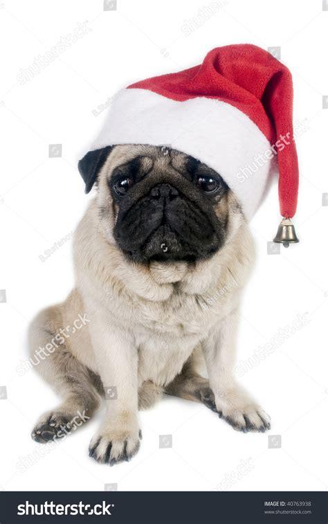 pug in santa hat pug wearing a santa hat stock photo 40763938