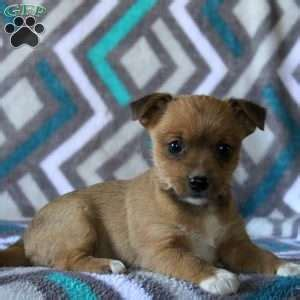 yorkie puppies for sale in nj or pa yorkie puppies for sale in de md ny nj philly dc and baltimore