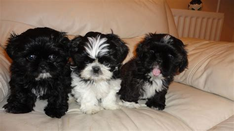 shih tzu guide shih tzu pomeranian mix puppies picture