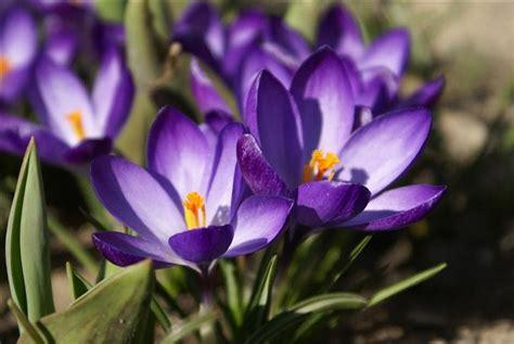 dream field february birth flower  violet