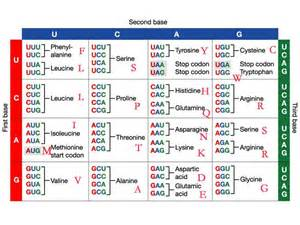 codon table is arranged to 20 amino acid character the
