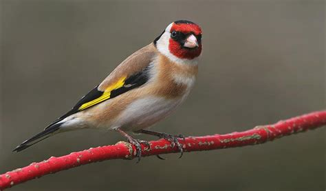 related keywords suggestions for european goldfinches