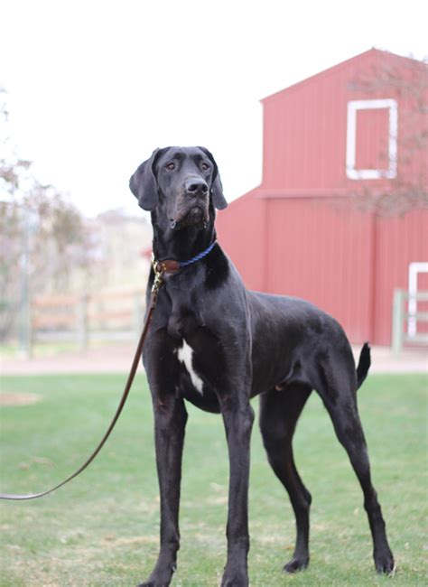 large houses for great danes great dane breed information rocky mountain great dane rescue