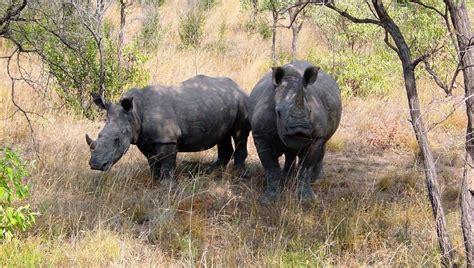 imagenes rinoceronte blanco h 225 bitat de los rinocerontes