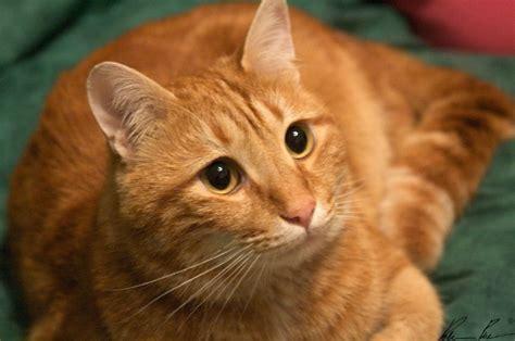 gatti persiani da adottare gatto rosso trovato a via boccaccio a firenze cercocasa