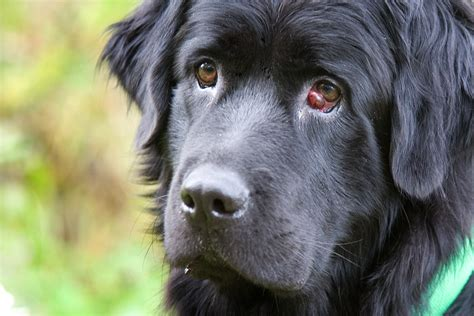 what is cherry eye in dogs what causes cherry eye and how to treat it