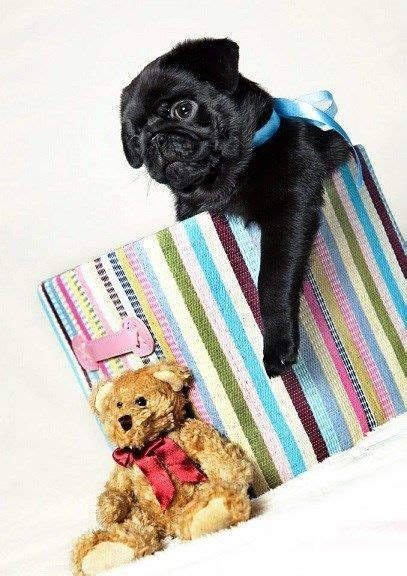 black pug teddy 17 best images about dogs puppies on puppy photos puppys and