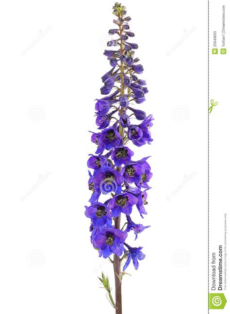 delphinium flower stock photos image 25649693