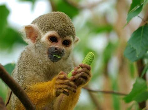 squirrel central squirrel monkey