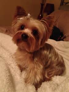 yorkie haircuts perfect yorkie haircut yorkie cute cuts pinterest