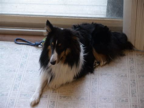 sheltie puppies for sale wisconsin miniature sheltie images breeds picture