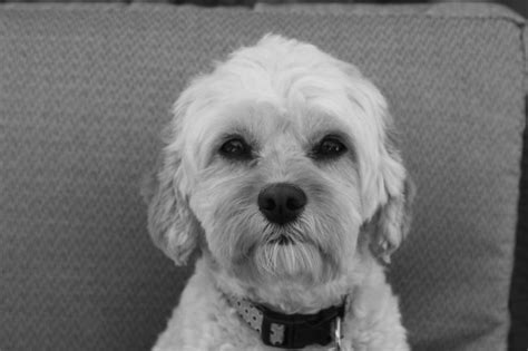 Hypoallergenic Dogs No Shedding by Adorable Cavapoo Cavoodle Non Shedding