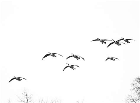 free photo geese birds birds flying free image on