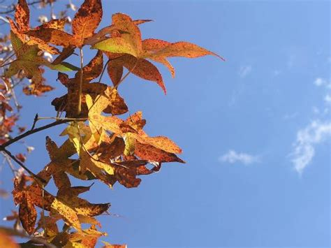 what causes leaves to change color in the fall heat wave in u s causes trees to change colors
