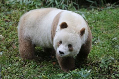 Panda With by Brown Panda Is Bullied By Other Bears For His Light