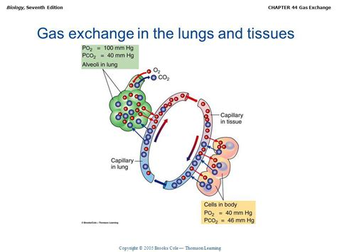gas exchange ppt video online download chapter 44 gas exchange ppt video online download