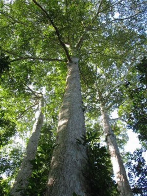 Pterocarpus echinatus personals