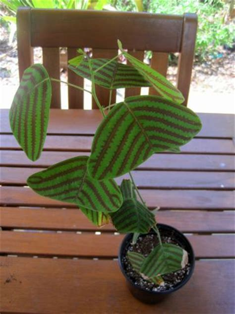 unusual houseplants 1000 images about house plants wish list helpful tips on pinterest coffea arabica facebook