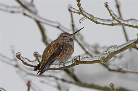best 28 what do hummingbirds do in winter anna s