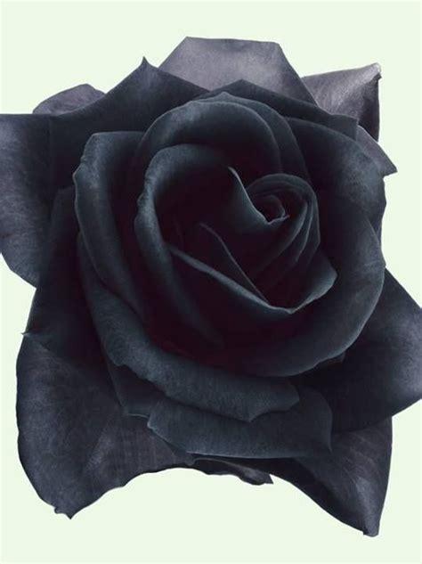 black rose tattoo stockton image result for black tattoos