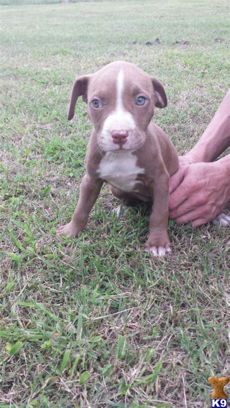 pitbull puppies nc pitbull puppy for sale in breeds picture