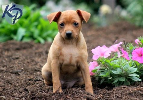 Miniature Pinscher Puppies For Sale In Pa Keystone Puppies | 25 best miniature pinscher images on pinterest miniature