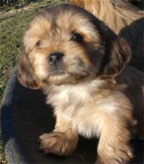 lhasa apso x yorkie puppies for sale 1000 images about lhasa apso on yorkie lhasa and puppys