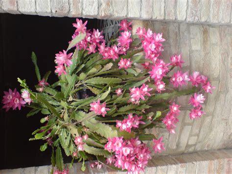 fiori piante grasse foto piante grasse foto amatore