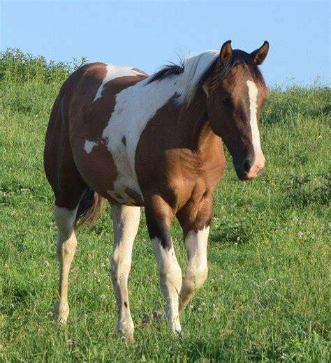 paints  quarter horses  equinenow